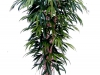 ficus-longifolia
