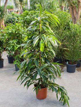 Ficus amstel King touffe 150cm