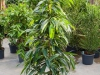 Ficus amstel King touffe 150cm