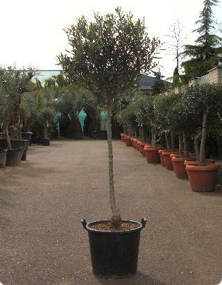 olivier-tige