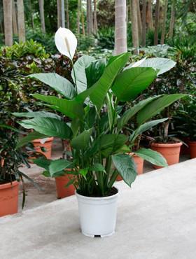 spathiphyllum-80