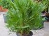 chamaerops-humilis-150-pot55