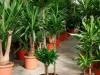 dracena-ramifie-3-branches