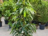 ficus-amstel-king-touffe-150cm