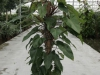 philodendron-red-140