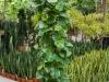 scindapsis-treillis-150cm