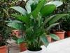 spathiphyllum-80_0